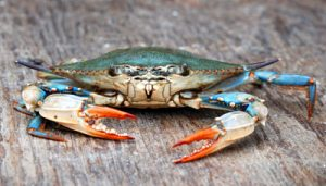 Blue-Crab-Female